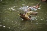 Ducks bathing in a cloud of spray in a pond - 177047631