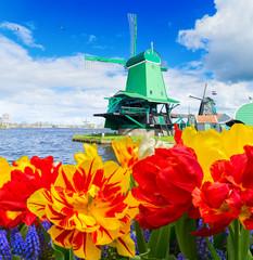 traditional wooden Dutch windmills of Zaanse Schans and tulips flowers, Netherlands