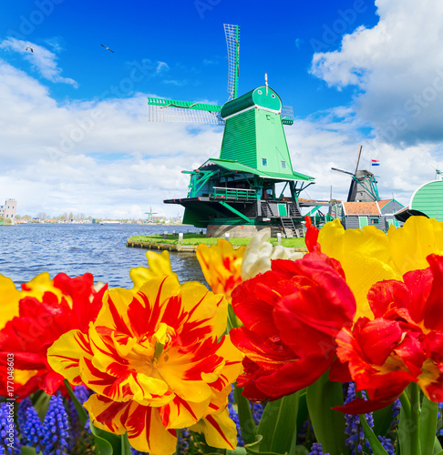 traditional wooden Dutch windmills of Zaanse Schans and tulips flowers, Netherla Poster