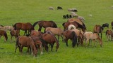 A herd of horses on a summer pasture. A herd of sheep on a green meadow. - 177051223
