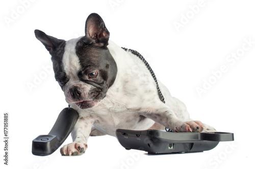 Foto op Plexiglas Franse bulldog French bulldog with phone