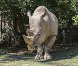 adult rhino - 177052416