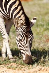 Close up of a Zebra eating grass