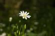 Pojedynczy, biały kwiat na tle wody