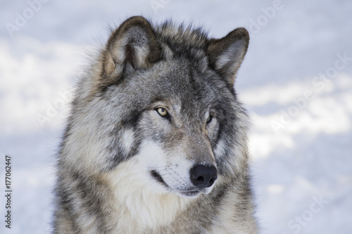 Aluminium Wolf Timber wolf in winter