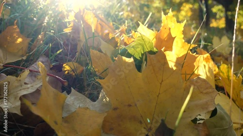Yellow maple leaves on grass at sunlight