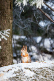 Eurasian red squirrel at winter - 177068022
