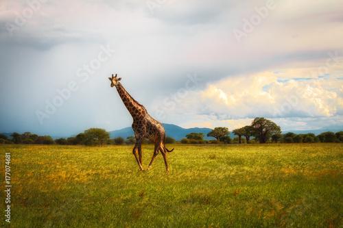 Giraffe Savannah Poster
