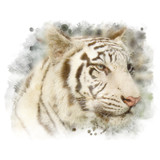 White bengal tiger. - 177076667