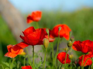 Landscape: Flowering scarlet poppies.