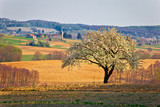 Lonely blossom tree in Prigorje region of Croatia - 177085069