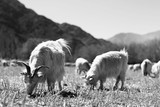 flock of sheep in the mountains - 177090027