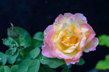 Close up beautiful pink roses flower in garden outdoor dark background