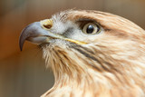 Head of a falcon bird with a huge beak - 177094887