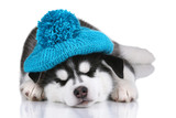 Cute Siberian hussy puppy in a hat, sleeping on a white background