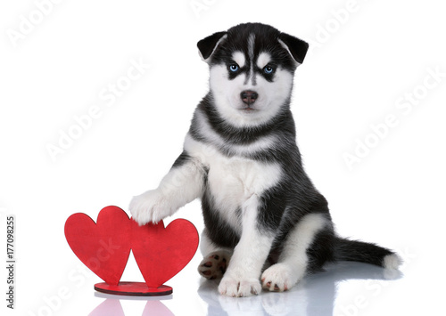 Poster Cute puppy of Siberian husky on a white background