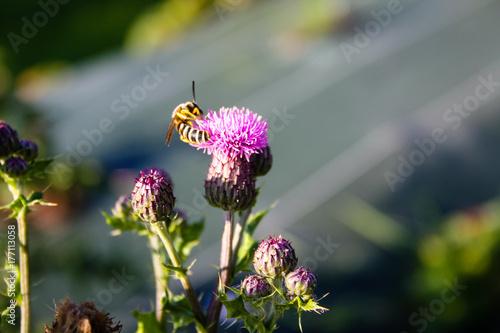 Fotobehang Lavendel Guepe butineuse sur une fleur de chardon