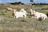 Troupeau de vaches - 177118661