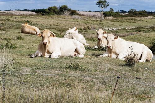 Fridge magnet Troupeau de vaches