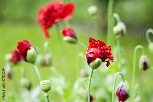 Big red poppy flower on a green background