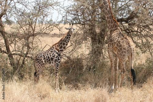 Giraffe calf Poster