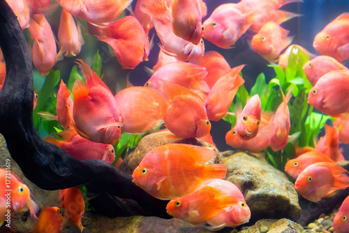 group of red parrot cichlid buy photos ap images detailview