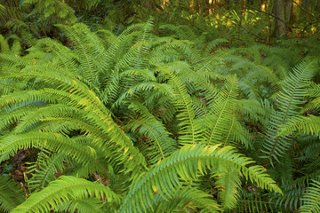 a picture of an Pacific Northwest forest and Sword ferns