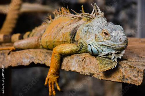 Staande foto Kameleon iguana adult sunning himself on a stone
