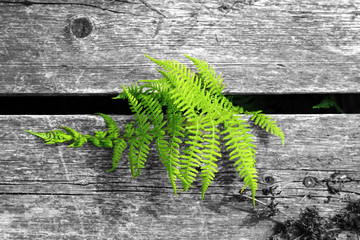 Fern on the background of a wooden shield