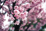 The Cherry blossom blooming season in Japan - 177142086