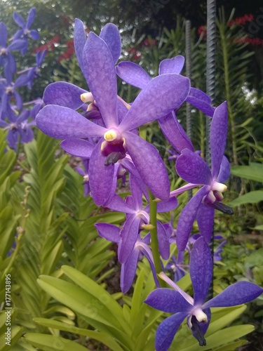 Mokara Chao Phraya Blue Boy orchid in a Singaporean garden Poster
