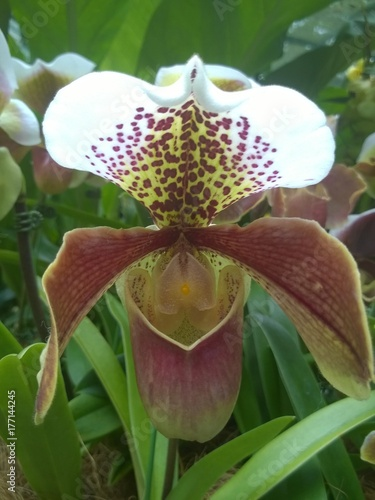 Lady's slipper orchid ( Cypripedium calceolus ) in a Singaporean garden Poster