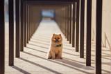 the dog breed Pomeranian - 177145049