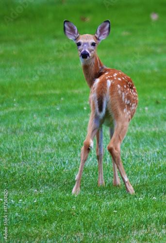 Baby deer glancing behing плакат