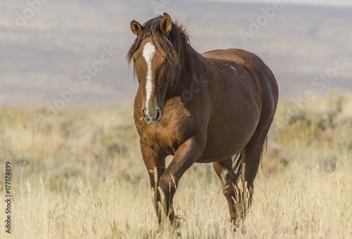 Wild Horse in Wyoming Plakát