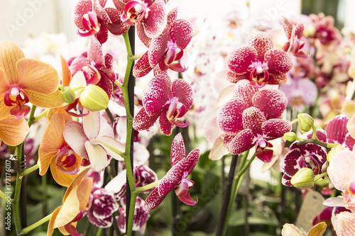 Fridge magnet Orchids