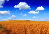 Wheat field against a blue sky - 177206856