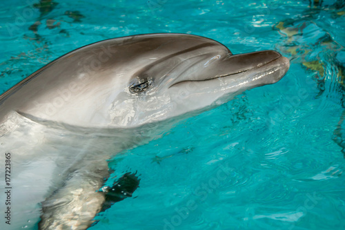 Fototapeta Dolphin in captivity Horizontally. Dolfin stuck his head out of the turquoise water and looked at the viewer.