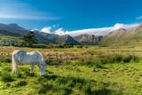 Connemara pony - 177226280