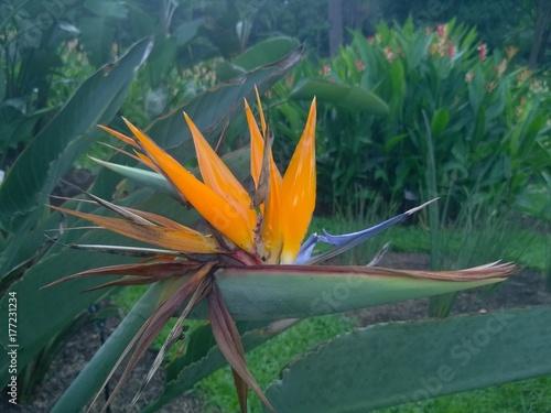 bird of paradise ( Strelitzia reginae ) flower in a Singaporean garden Poster
