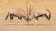 Quadro Fighting Gemsbok