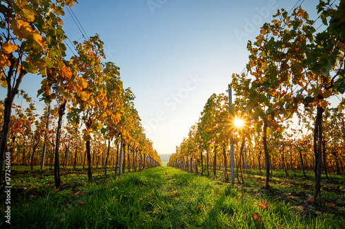 Papiers peints Vignoble Colorful vineyard on a sunny day. Yellow colored leaves vine in autumn.