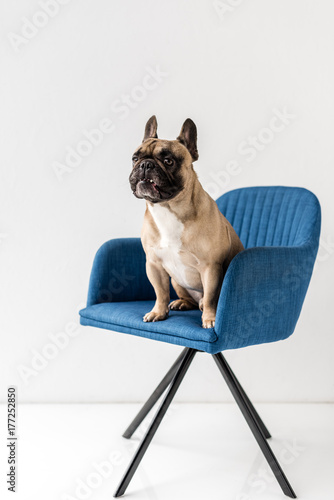 french bulldog sitting on chair