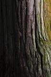 日光の杉アップ - 177258496