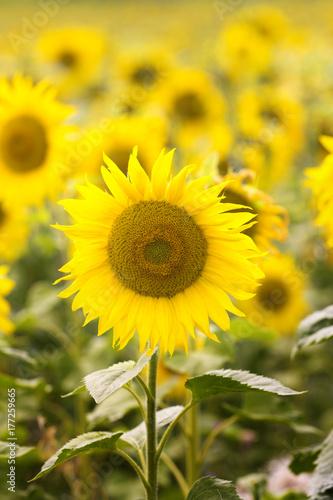 Blooming Sunflowers Field
