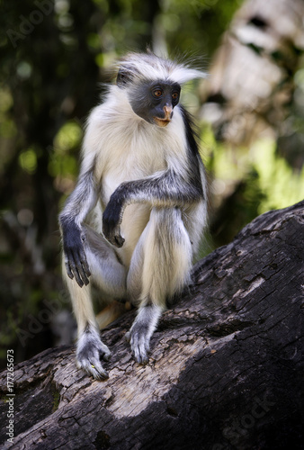 Foto op Plexiglas Zanzibar Red Colobus Monkey