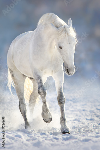 Plakat Beautiful white horse run in snow field