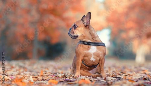 Deurstickers Franse bulldog französische Bulldogge im Herbst