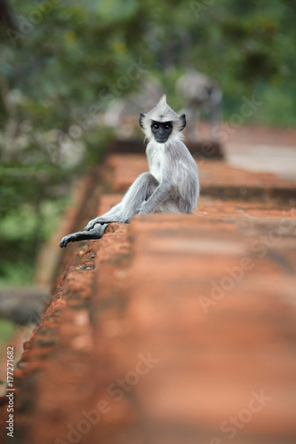 Vertical photo of Gray langur sitting on the wall Poster
