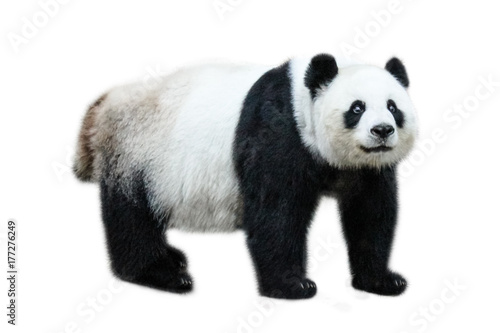 Fotobehang Panda The Giant Panda, Ailuropoda melanoleuca, also known as panda bear, is a bear native to south central China. Panda standing, side view, isolated on white background.